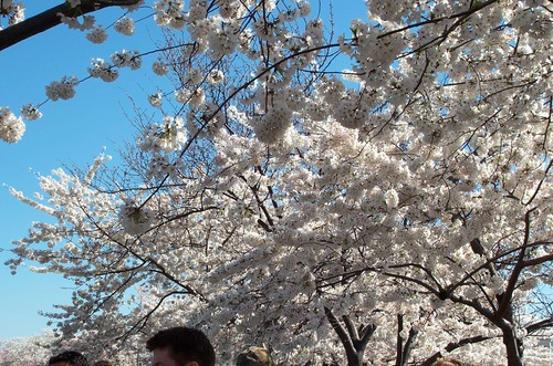 Dc_cherry_blossoms_405_012
