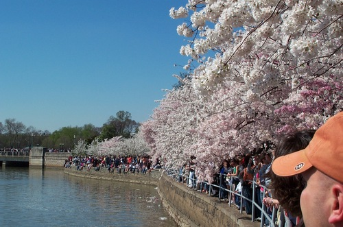 Dc_cherry_blossoms_405_013